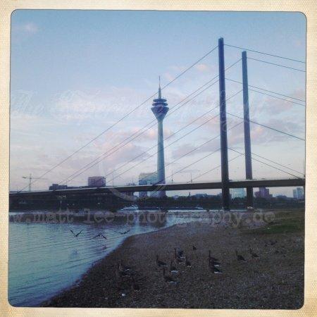Wildgänse am Rhein